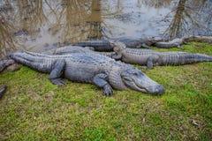 Alligatori che si siedono sull'erba Immagini Stock
