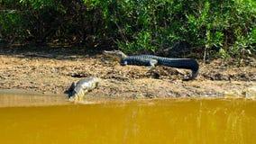 Alligatori che si trovano su una sponda del fiume in pampa amazzoniana, Bolivia, Sudamerica Fotografie Stock