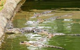 Alligatori d'alimentazione in uno stagno di acqua chiuso con un palo Immagini Stock