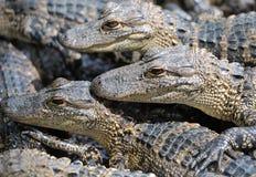 Alligatori del bambino Fotografia Stock