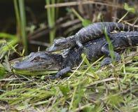 Alligatori del bambino Immagine Stock