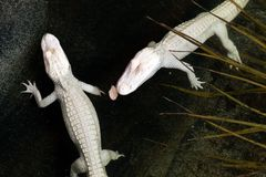 Alligatori del bambino dell'albino Immagini Stock Libere da Diritti
