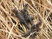 Alligatori del bambino in nido Fotografia Stock Libera da Diritti