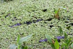 Alligatori di Florida Immagini Stock