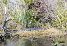 Alligatori di Florida nel parco nazionale dei terreni paludosi Grande conserva nazionale del Cypress Immagini Stock Libere da Diritti
