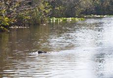 Alligatori di Florida nel parco nazionale dei terreni paludosi Grande conserva nazionale del Cypress Immagine Stock