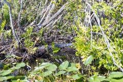 Alligatori di Florida nel parco nazionale dei terreni paludosi Grande conserva nazionale del Cypress Fotografia Stock Libera da Diritti
