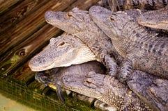Alligatori e tartaruga Immagini Stock Libere da Diritti