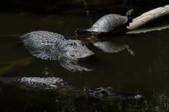 Alligatori e tartaruga che riposano, nuotando, grande PR nazionale di Cypress Fotografia Stock