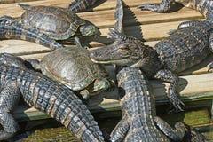 Alligatori e tartarughe Immagini Stock Libere da Diritti