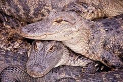 Alligatori giovanili Immagine Stock Libera da Diritti