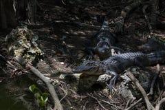 Alligatori, grande prerogativa nazionale di Cypress, Florida Immagine Stock