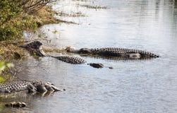 Alligatori nel parco nazionale dei terreni paludosi Fotografia Stock
