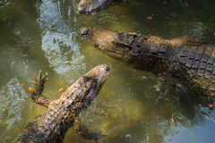Alligatori nell'acqua Fotografie Stock Libere da Diritti
