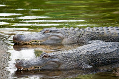 Alligatori nell'attesa del fiume Immagine Stock