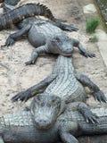 Alligatori nella linea Fotografia Stock Libera da Diritti