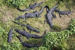 Alligatori nella palude, vista aerea Fotografie Stock Libere da Diritti