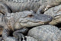 Alligatori pigri Fotografie Stock Libere da Diritti