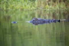 Alligatori selvaggi nello stato Forest Florida di Myakka Fotografia Stock Libera da Diritti