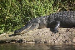 Alligatori selvaggi nello stato Forest Florida di Myakka Immagini Stock Libere da Diritti
