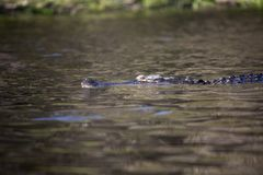 Alligatori selvaggi nello stato Forest Florida di Myakka Fotografie Stock