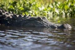 Alligatori selvaggi nello stato Forest Florida di Myakka Immagini Stock