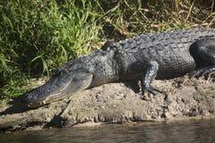 Alligatori selvaggi nello stato Forest Florida di Myakka Immagine Stock Libera da Diritti