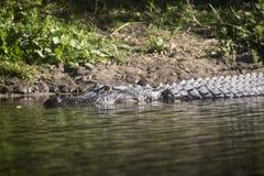Alligatori selvaggi nello stato Forest Florida di Myakka Fotografia Stock