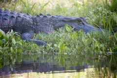 Alligatori selvaggi nello stato Forest Florida di Myakka Fotografie Stock Libere da Diritti