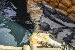 Alligatori & tartarughe Fotografie Stock Libere da Diritti