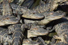 Alligatori in un mucchio Immagine Stock Libera da Diritti