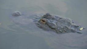 Alligatori in una palude in Florida video d archivio