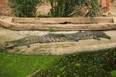 Alligatori in uno zoo, Francia Immagini Stock Libere da Diritti