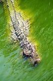 Alligatorjakt i floden av Afrika Royaltyfria Bilder