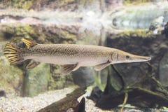 Alligatorkaimanfisch Lizenzfreie Stockbilder