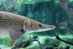Alligatorkaimanfisch 1 Stockbilder