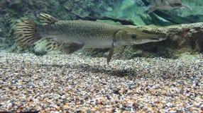 Alligatorkaimanfisch von der Seite Stockbild