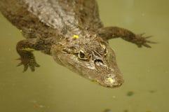 alligatorkines Arkivfoto