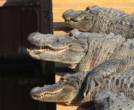 alligatorkrokodileverglades florida Royaltyfri Fotografi