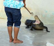 Alligatorkursleiter Stockfoto