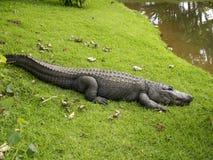 Alligatorlächeln Stockbilder