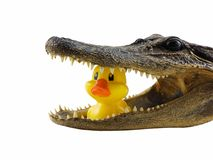 alligatorlunch Royaltyfria Foton