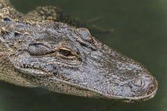 Alligatormississippiensis för amerikansk alligator Royaltyfri Fotografi