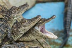 Alligatormississippiensis för amerikansk alligator Fotografering för Bildbyråer