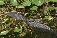 Alligatormutter mit Schätzchen Stockfotografie