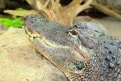 Alligatorn americano Immagini Stock Libere da Diritti