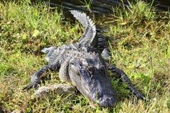 Alligatorn använder en stenkudde för att solbada royaltyfri foto