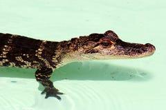 alligatorn behandla som ett barn Arkivfoton