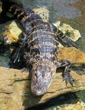 alligatorn behandla som ett barn arkivbild