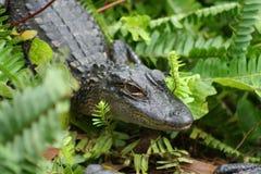 alligatorn behandla som ett barn royaltyfri bild